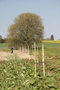 Lång rad av nyplanterade träd